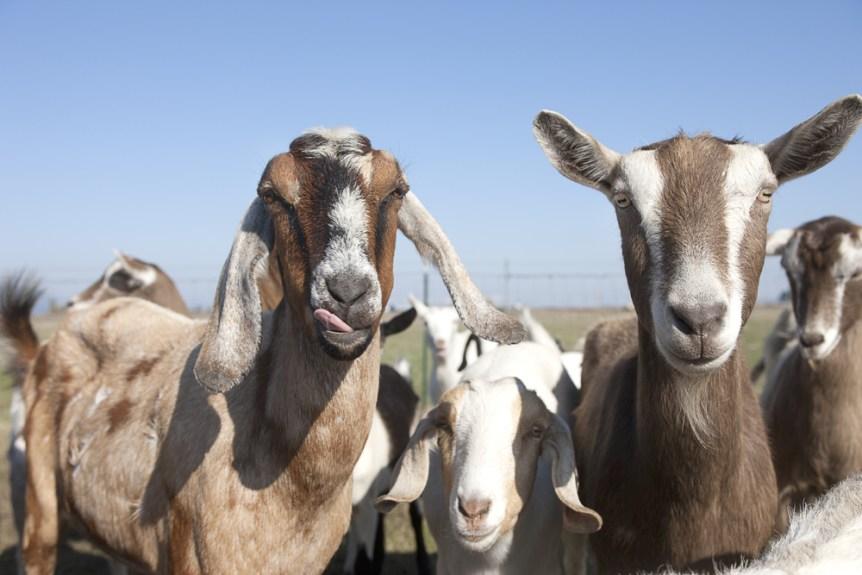 goat industry