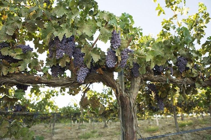drought-grapes-hero-shutterstock image