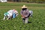 strawberry picker workers-farm labor