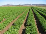 lettuce on an Imperial Valley, California farm