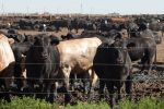 beef Brazil