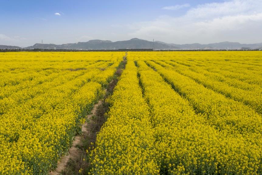 Canola flower planting, rapeseed oil base.