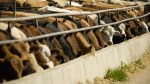 Cattle Feeding-CME