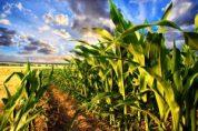 New Corn Disease