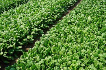 Spinach Varieties