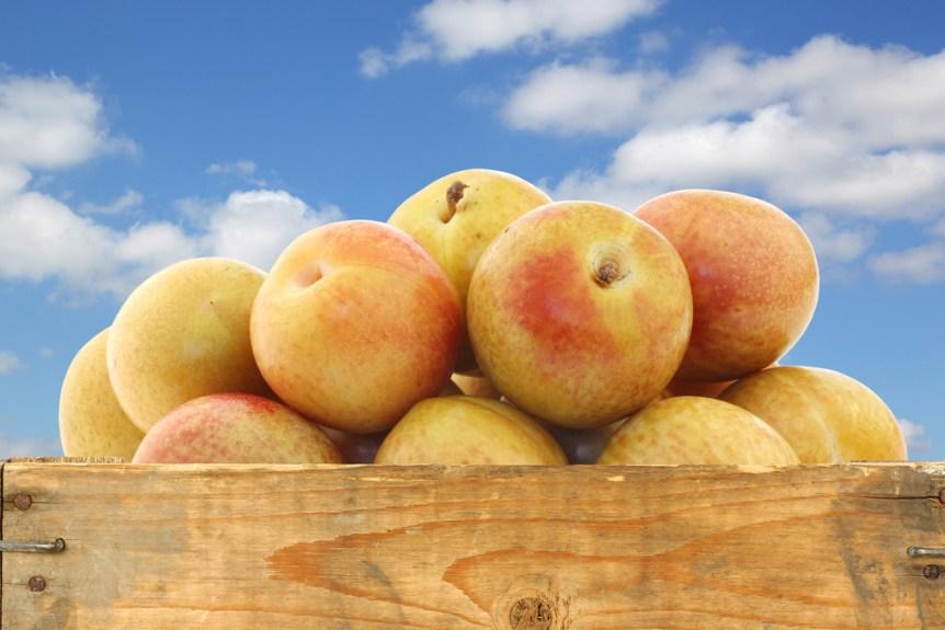 fruits and nuts Fresh pluots (Prunus salicina - armeniaca)