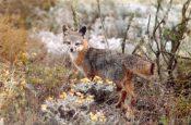 Island Fox-Urocyon_littoralis_full_figure