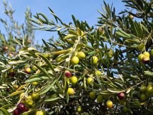 Table Olive Harvest