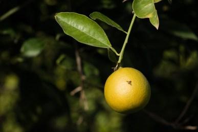 mediterranean-fruit-fly-5
