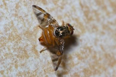 mediterranean-fruit-fly-6