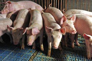 secure pork supply plan