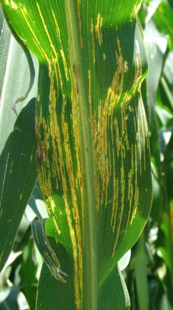 bacterial-leaf-stripe-lesions-tjz