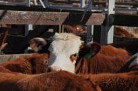 livestock cattle-auction sales