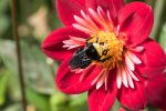 adult-yellow-faced-bumble-bee-foraging-for-nectar-on-a-late-summer-dahlia-flower