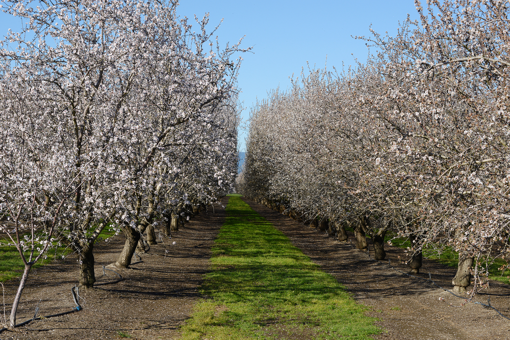 Manage Almonds to Full Potential, Despite Freeze Damage
