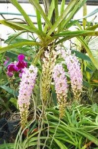 orchid-farm-thailand-5