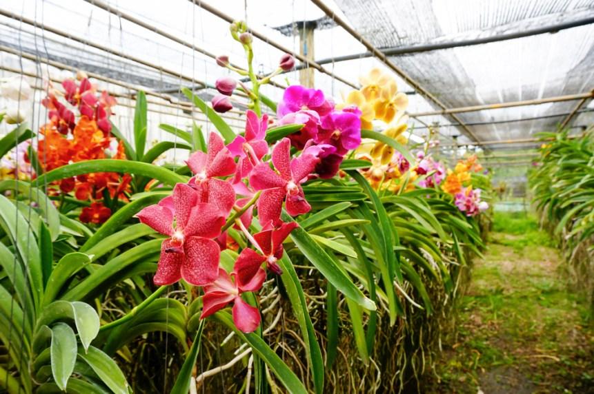 Orchid Farm. Thailand