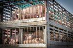 truck-transport-pigs rabobank