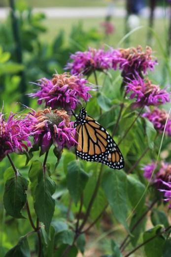 monarch-butterflies-in-backyard-garden-2