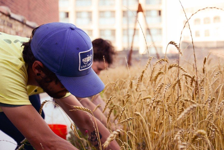 rooftop wheat