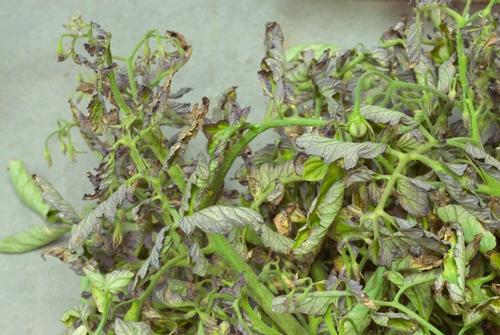 beet curly top virus