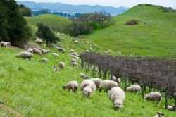 sheep-grazing-at-the-rolling-hills-of-sonoma-california