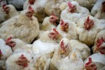 poultry imports avian influenza