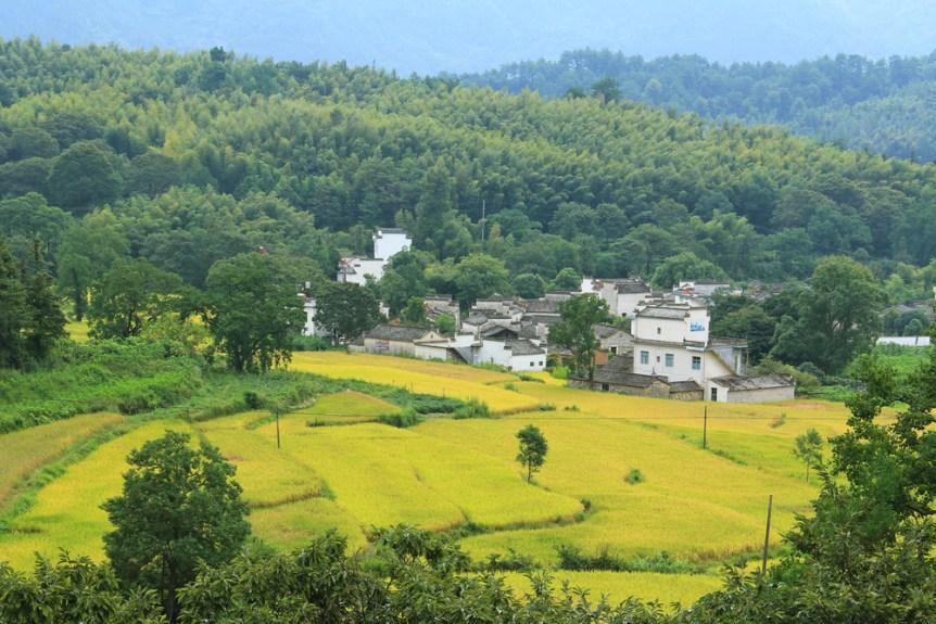 golden farmland around tashan village, Hweichow, China