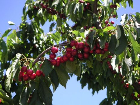 California Cherries