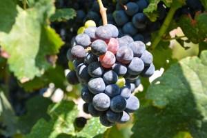 Winegrape Research