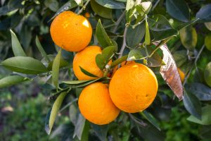 Citrus Protection