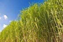 switchgrass energy