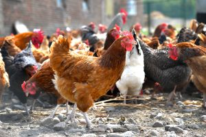 poultry show cancellations