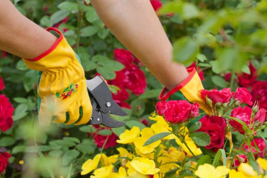 winter pruning roses