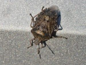 Brown Marmorated Stinkbug