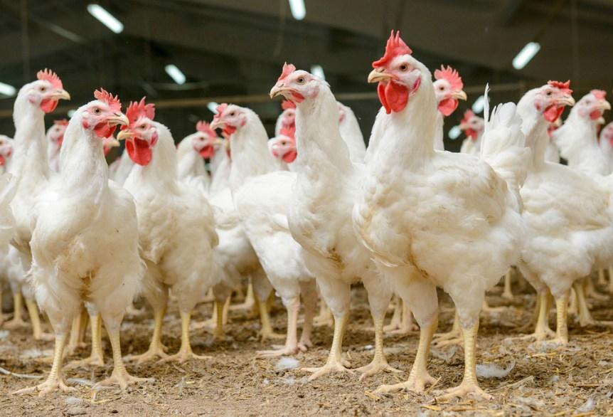 organic livestock