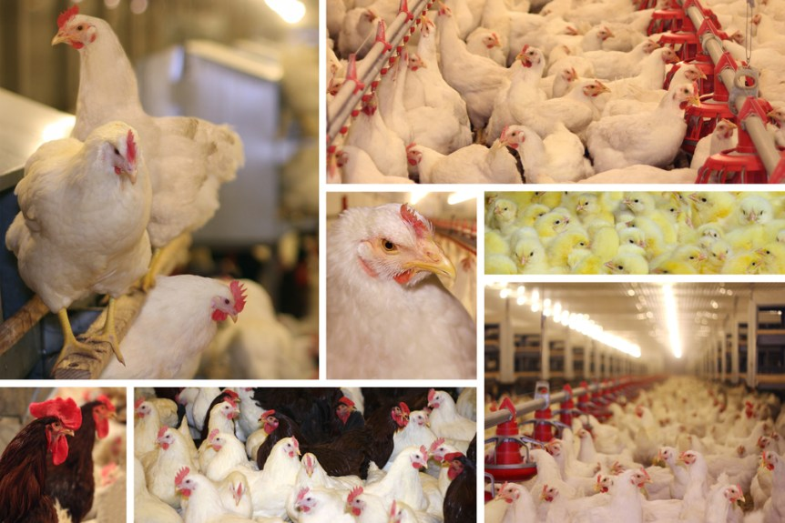 national poultry improvement plan