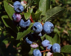 Blueberry Investigation