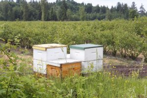 managed honeybee