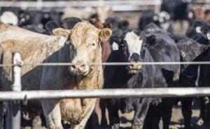 cattle inventories