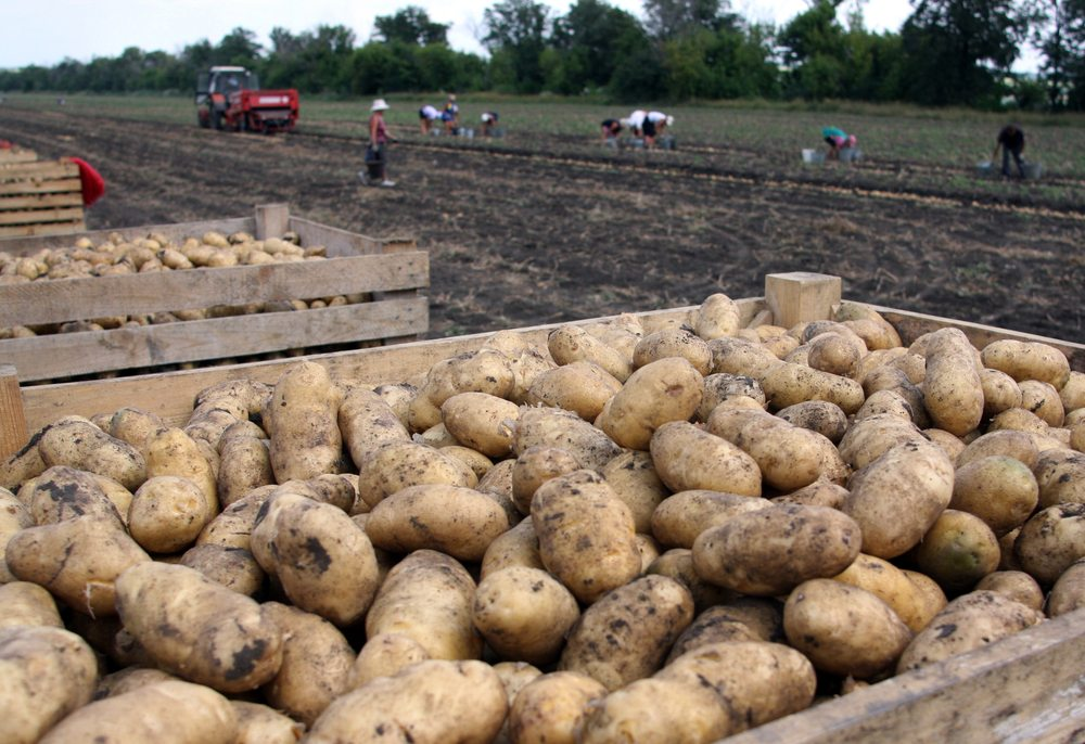 harvesting potatoes on an agricultural field 2