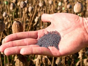 Man hand open poppy head in field. Check of poppy quality. Field with brown ripened Papaver somniferum, the type of poppy from which opium and many refined opiates are extracted.