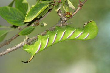 hawk moth caterpillar (Sphinx ligustri) rest in the branch