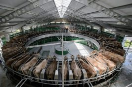 Cows in the modern milking parlour