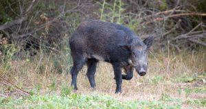 feral hog fight