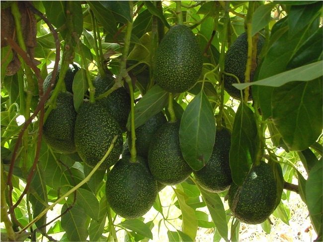 GEM Avocados Getting Industry Interest
