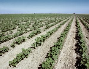 cotton plantings
