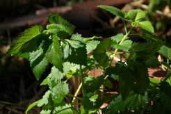 Stems and leaves of the herb plant, catnip