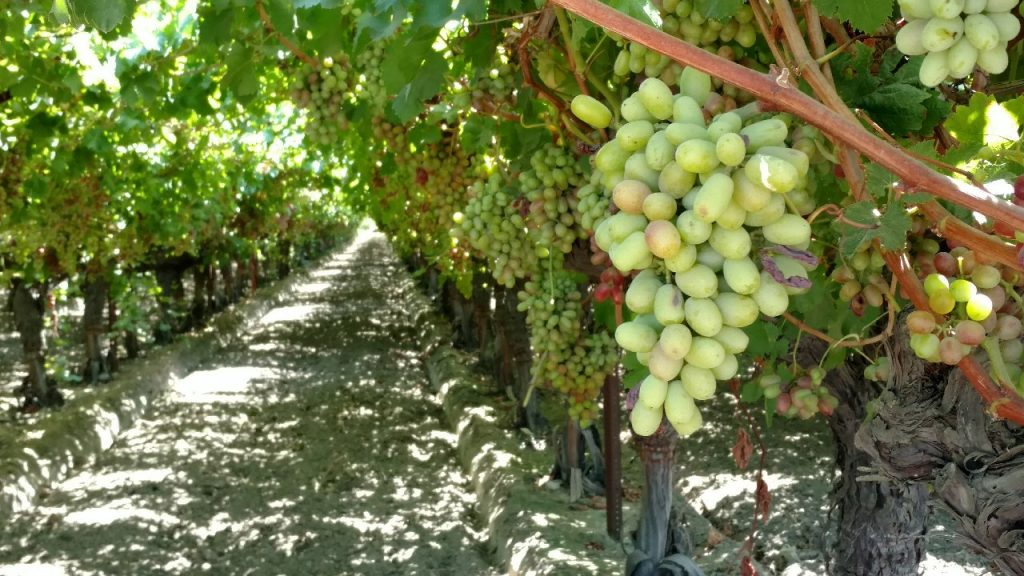 """Featured image for """"Strategies for Mealybug Control in Vineyards"""""""