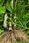 Valerian root, leaf and flower
